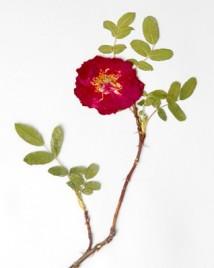 Rose_herbarium_specimen